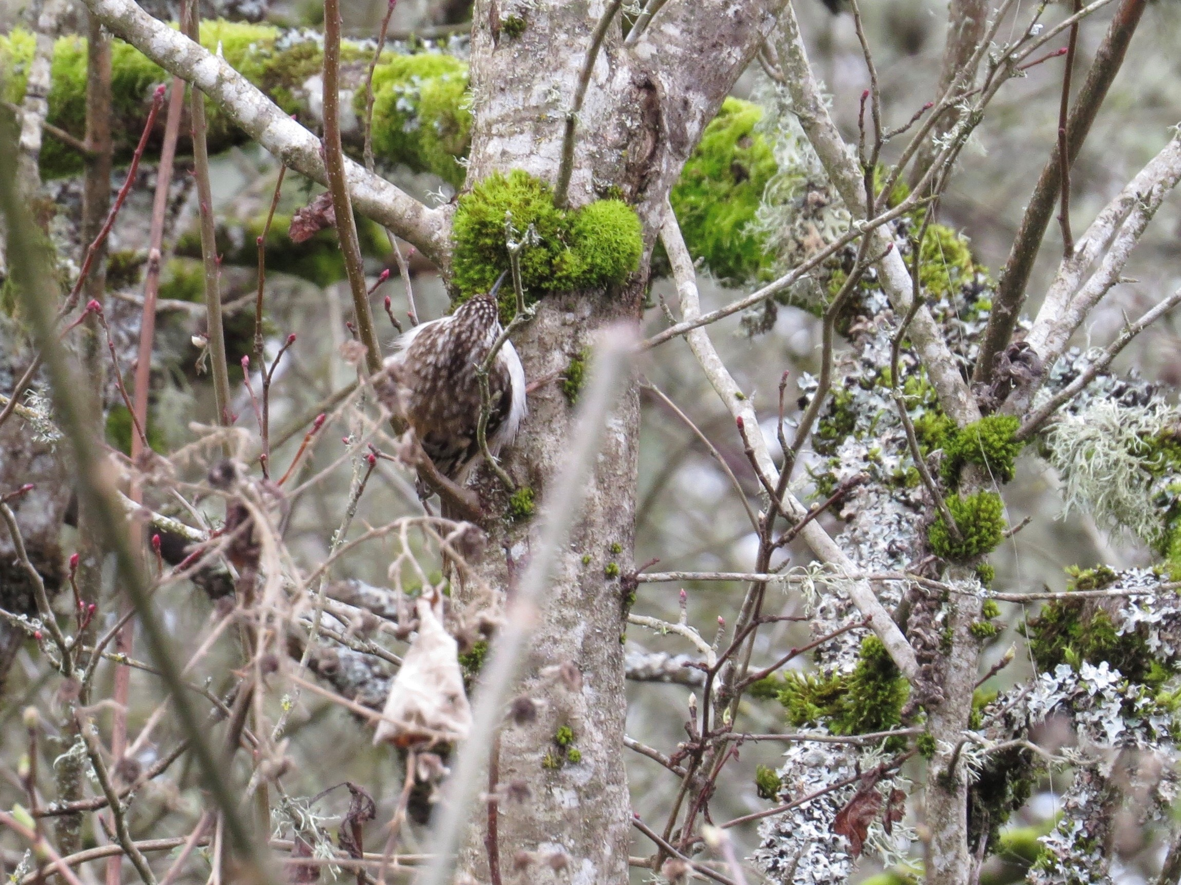Brown Creeper; Minto-Brown Island Park; Salem, Oregon; March 2, 2018; photography by Linda Burfitt.