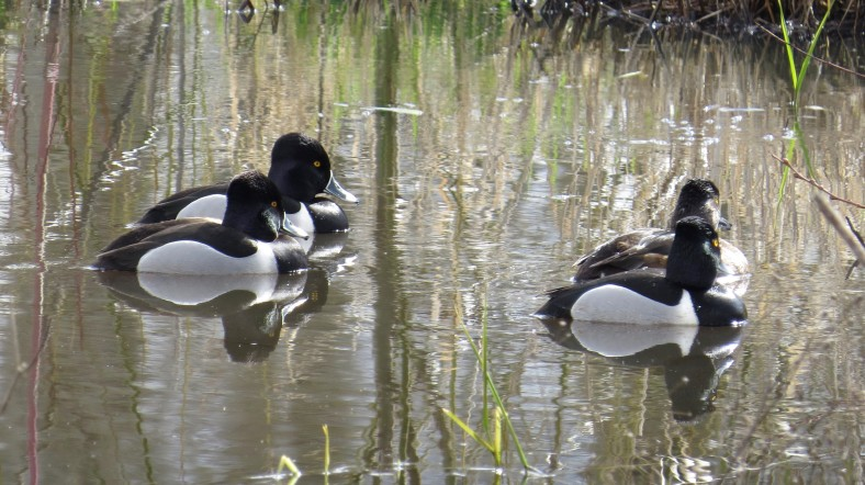 Ring-Necked Ducks; Minto Conservation Area; Salem, Oregon; March 4, 2018; photography by Linda Burfitt.