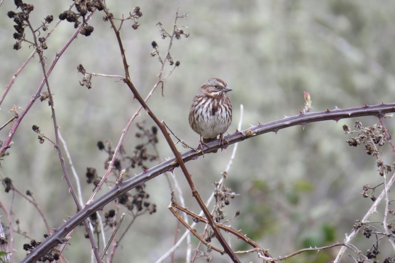 Song Sparrow; Minto-Island Brown Park; Salem, Oregon; March 2, 2018; photography by Linda Burfitt.