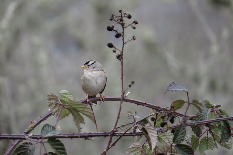 White-Crowned Sparrow; Minto-Island Brown Park; Salem, Oregon; March 2, 2018; photography by Linda Burfitt.